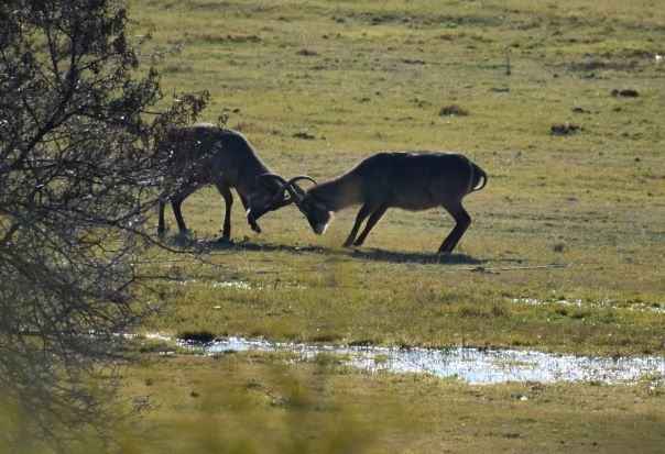 resize waterbuck fight.JPG