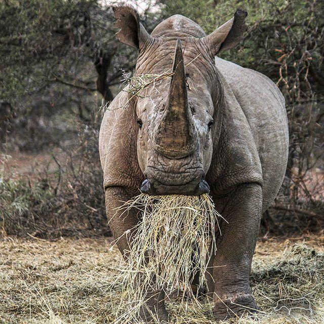 Rhino white.jpeg