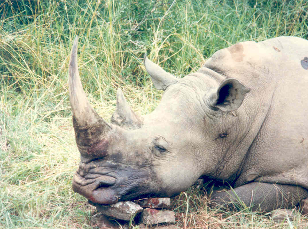 Rhino2.jpg