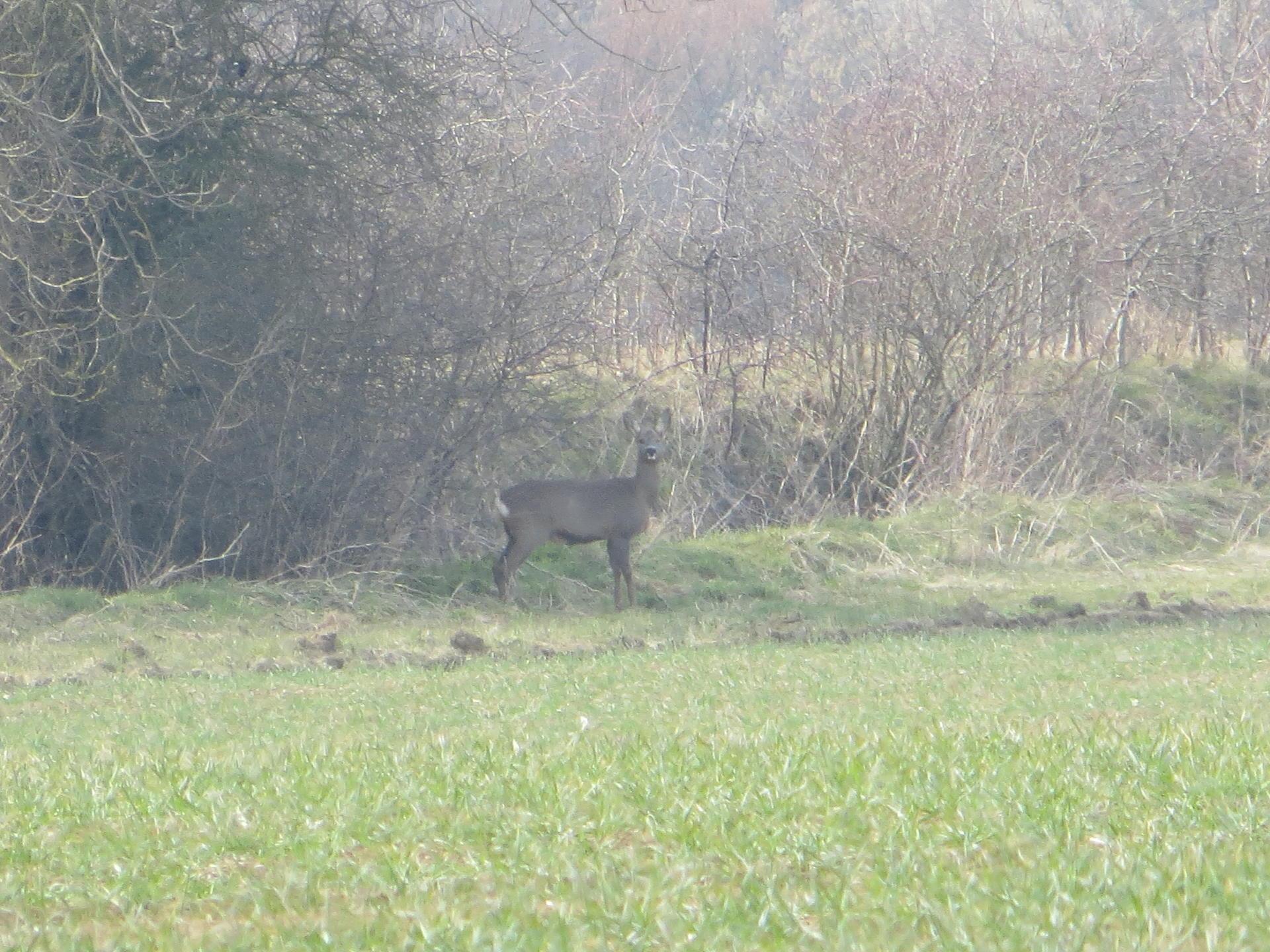Roe Deer 011.jpg