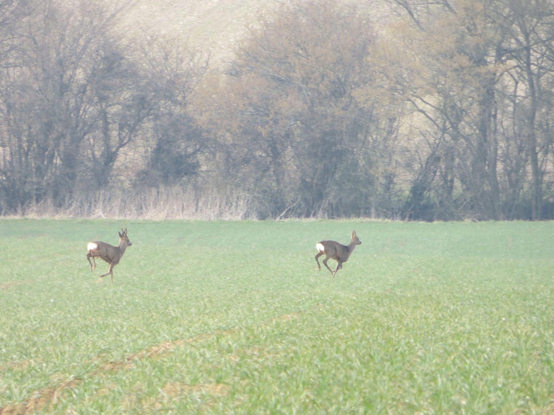 Roe Deer 013.jpg