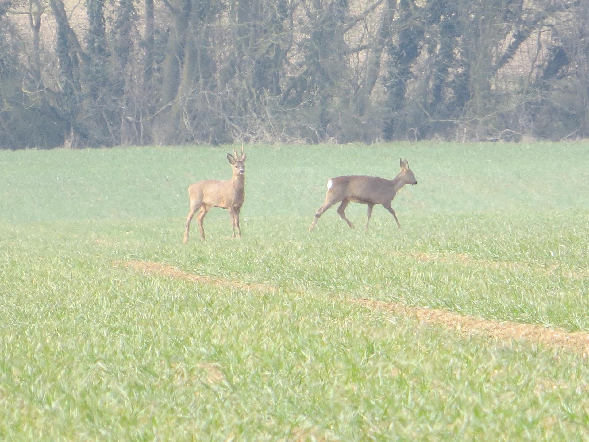 Roe Deer 014.jpg
