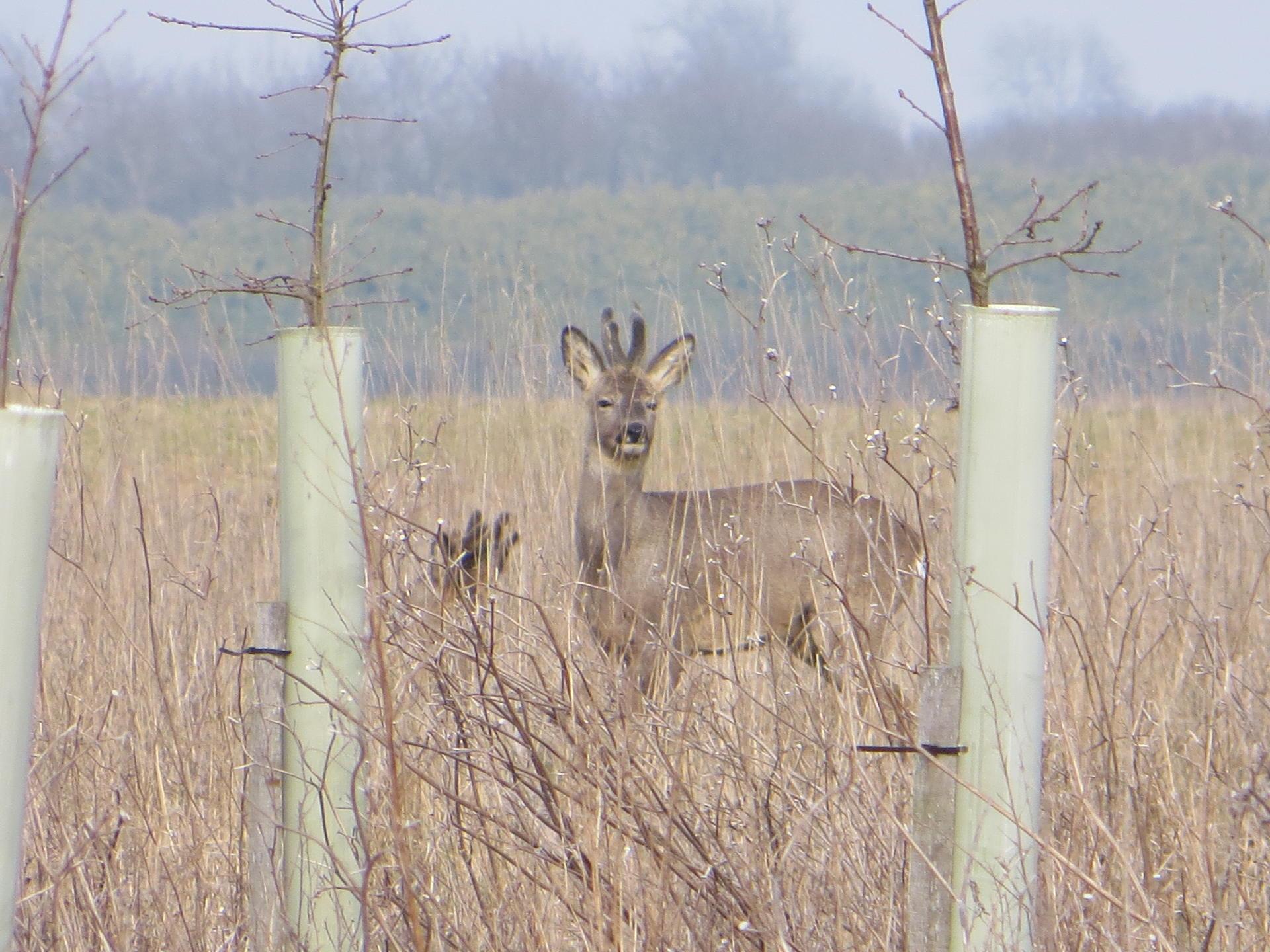 Roe Deer 019.jpg