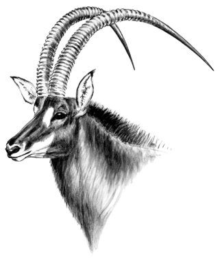 How To Differentiate The Subspecies Of Sable Antelope ...