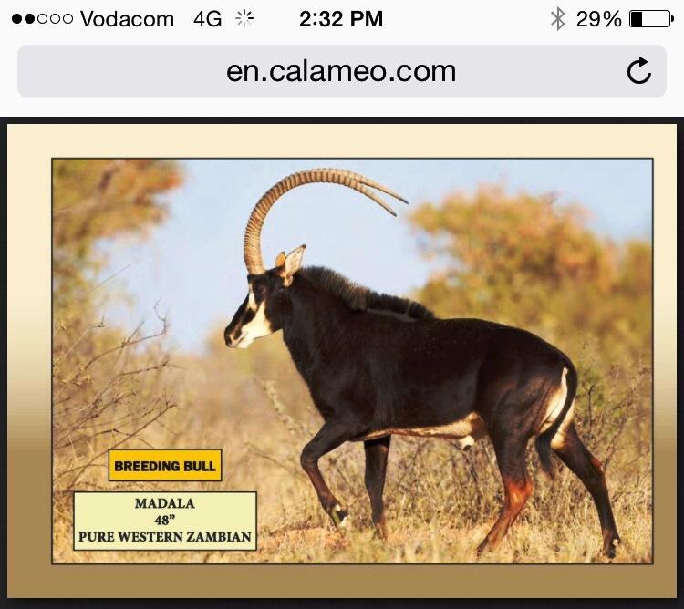 sable auction.jpg