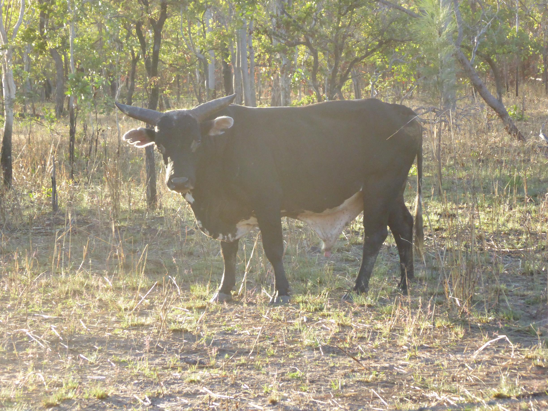 Scrub Bull Black - Hereford .JPG