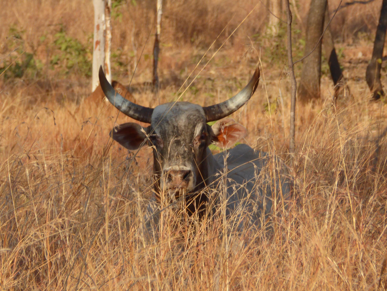 Scrub Bull in Cane Grass CU.JPG