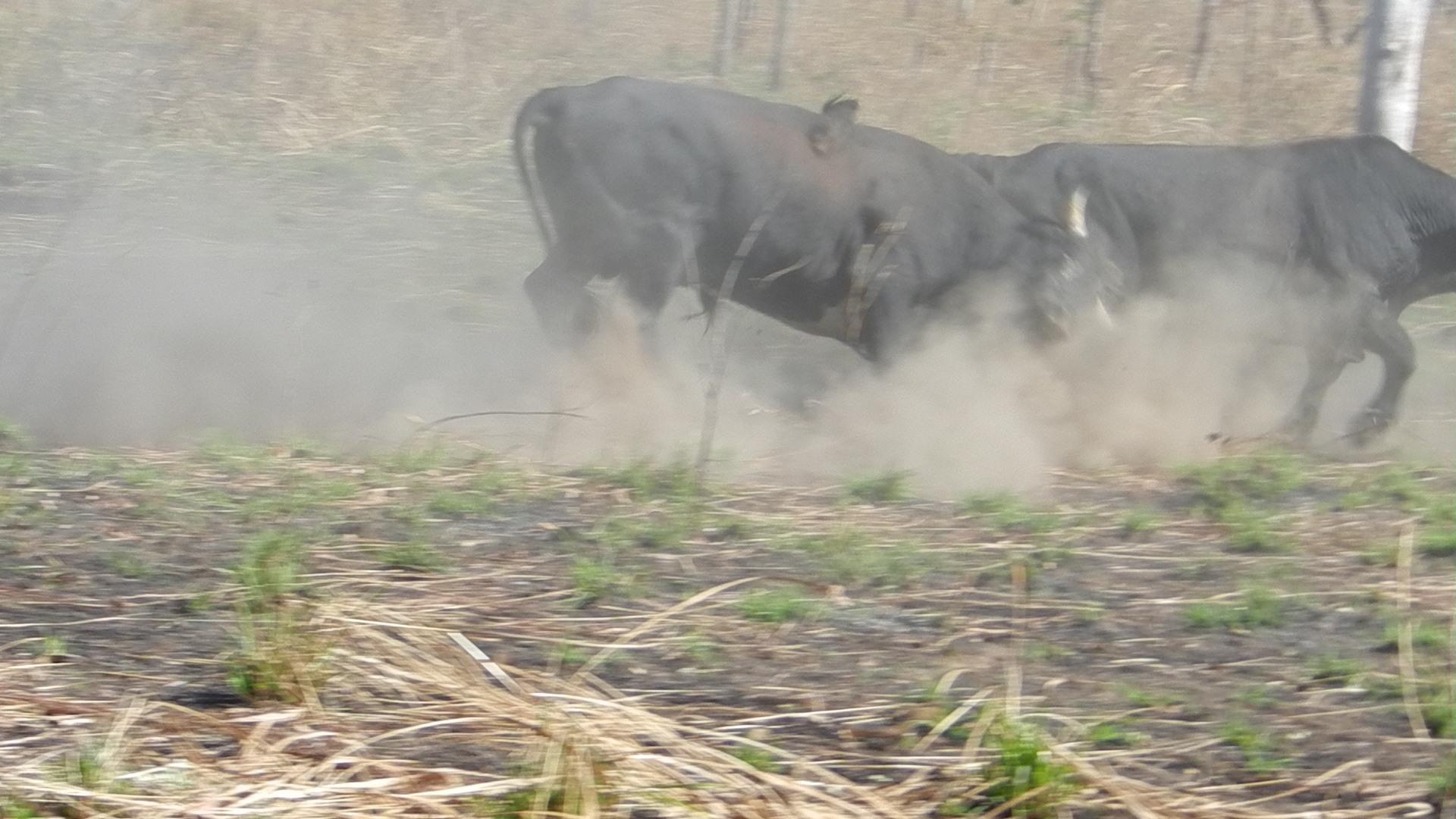 Scrub Bulls fighting .JPG