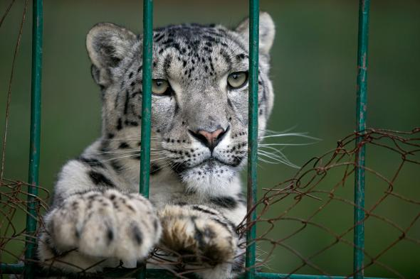 snow-leopards-Kyrgyzstan-2.adapt.590.1.jpg