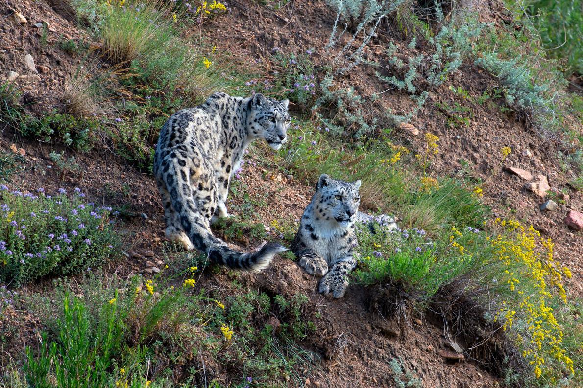 snow-leopards-Kyrgyzstan.adapt.1190.1.jpg