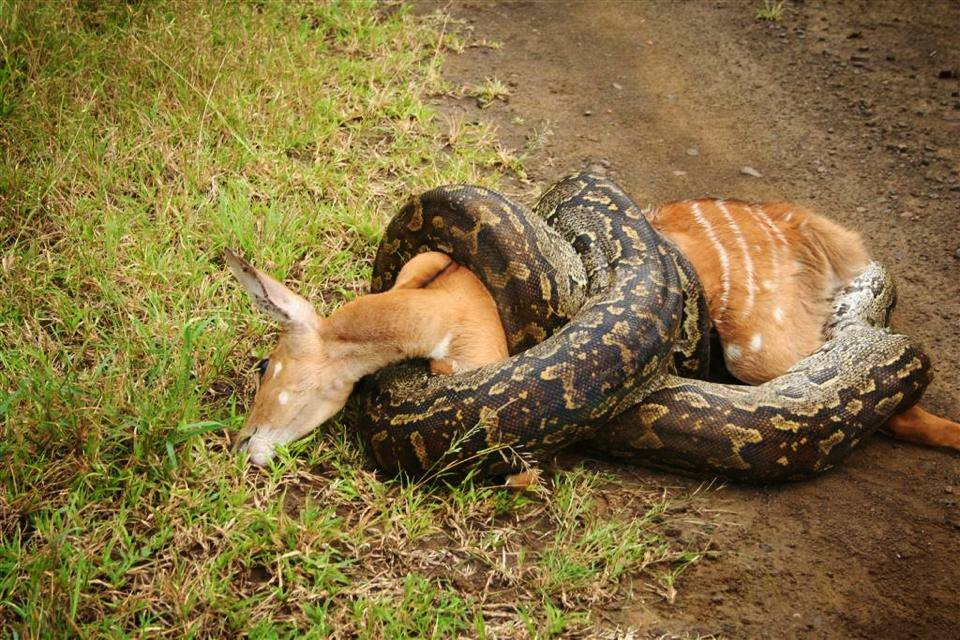 South Africa a large Python coiled on a female Nyala.jpg