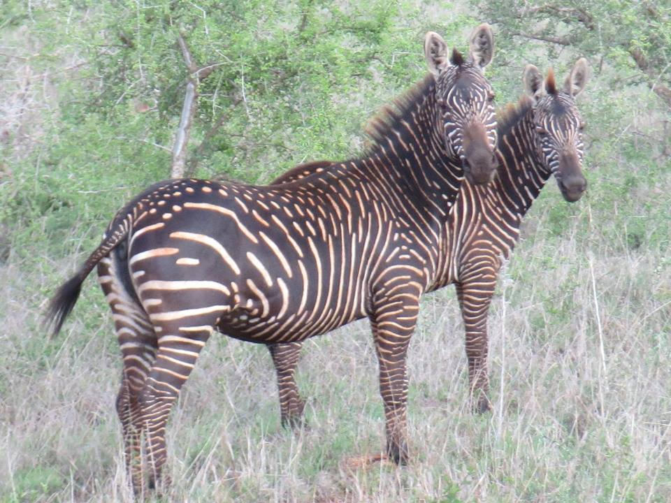 Spotted Zebra-.jpg