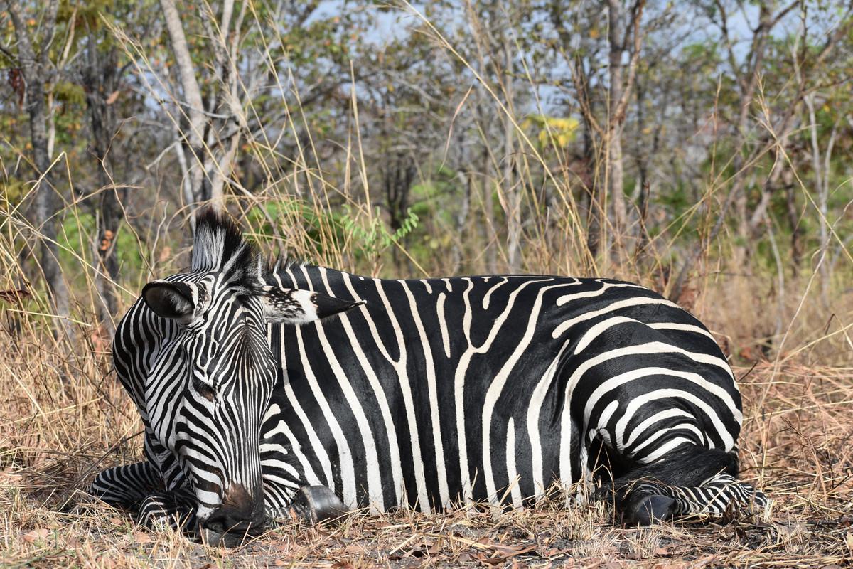 Tanz Zebra, what type  .jpg