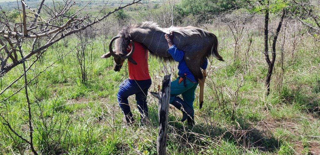 The trackers carrying my second nyala down the hill to the road..jpg