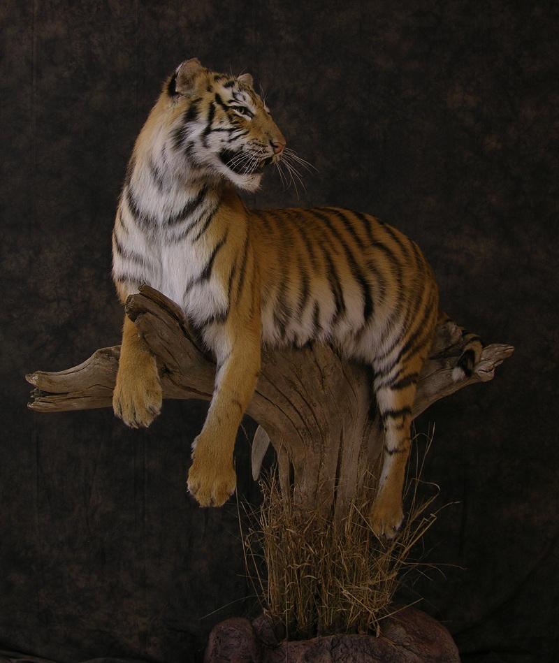 Tiger_a.jpeg