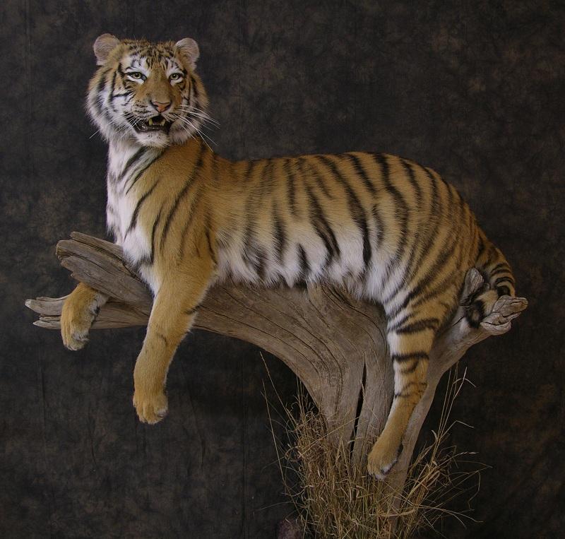 Tiger_b.jpeg