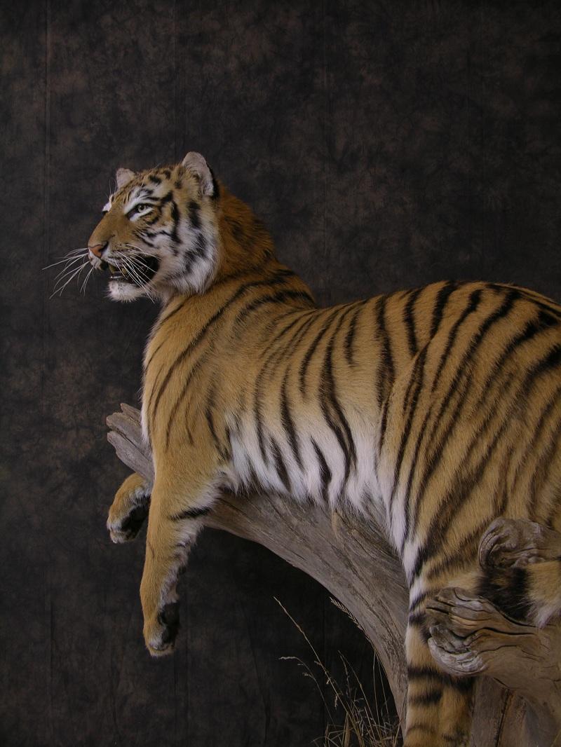 Tiger_c.jpeg