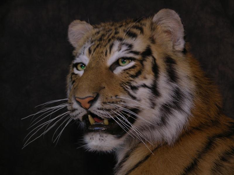 Tiger_d.jpeg