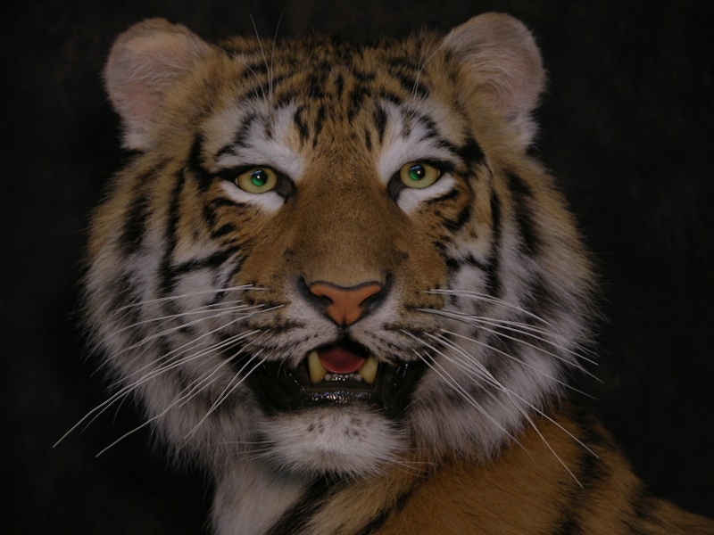Tiger_e.jpeg