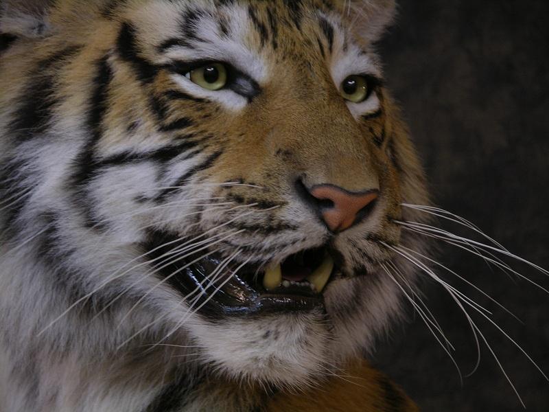 Tiger_f.jpeg