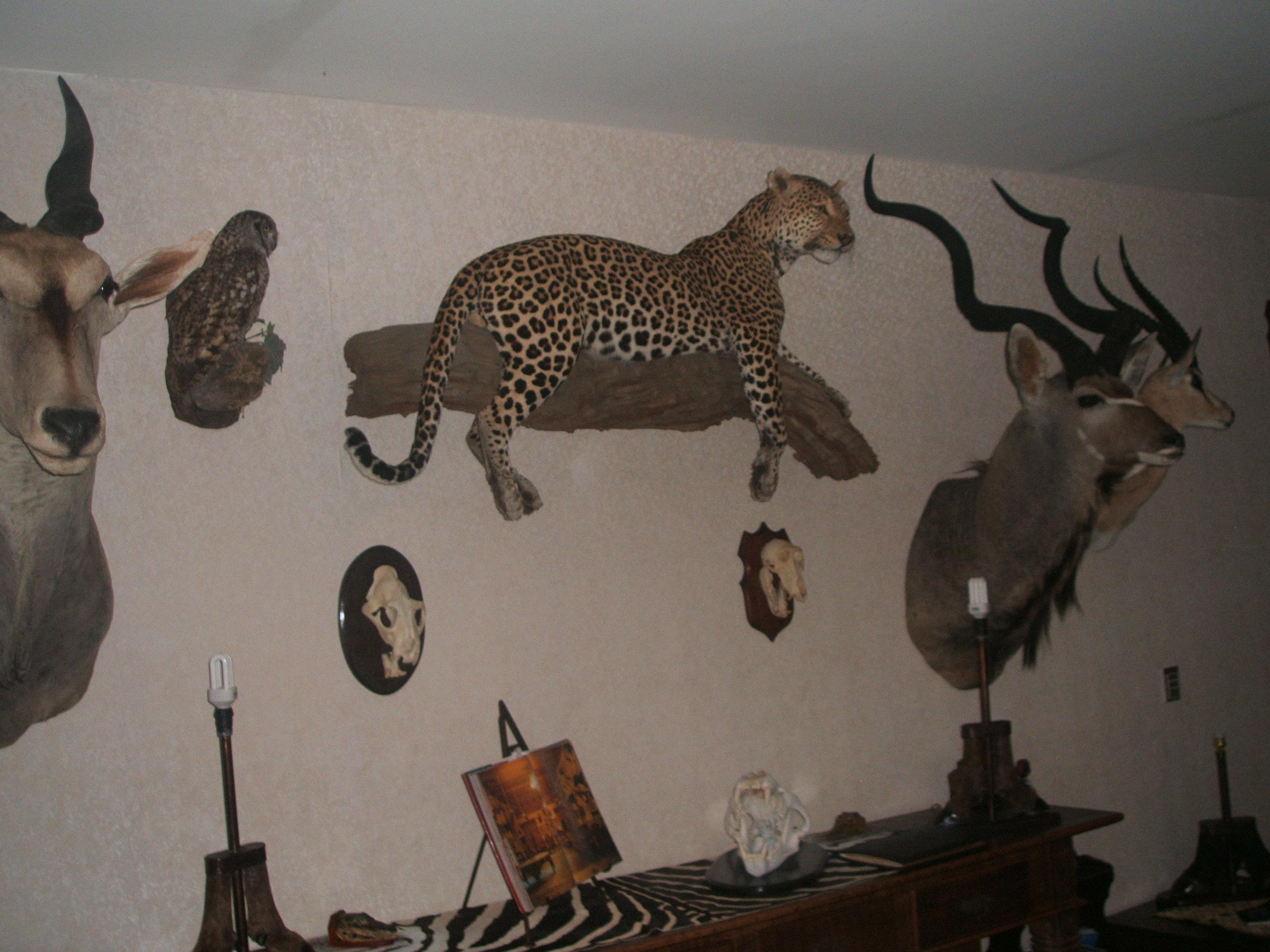 trophy leopard wall.JPG