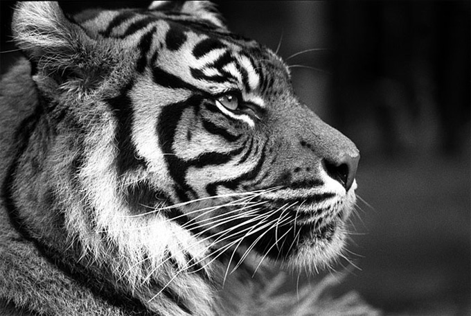 Tygrys3.jpg