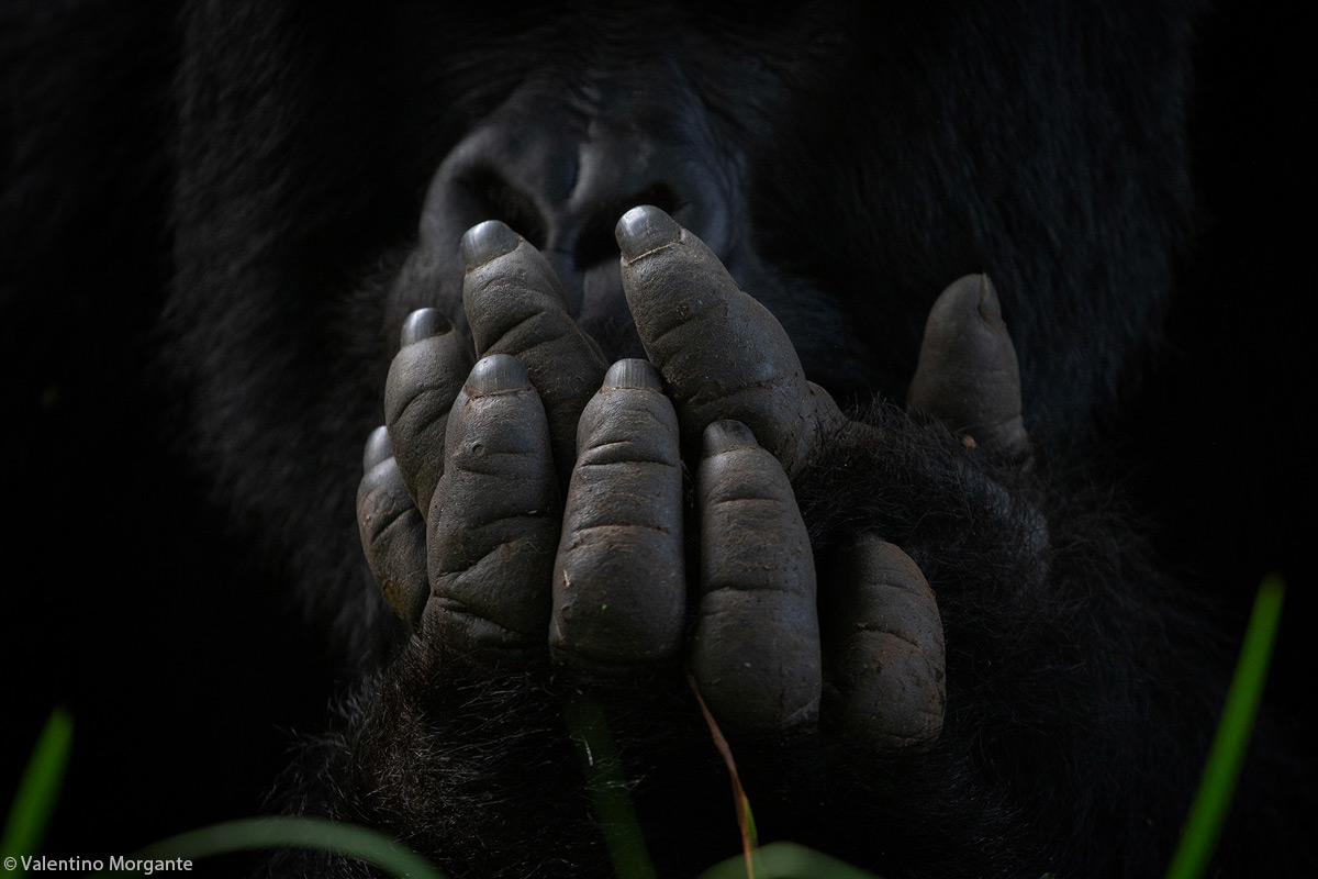 Valentino-Morgante-gorilla-hands-Bwindi-Impenetrable-forest-Uganda-1.jpg