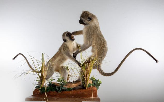 Vervet MonkeySITVM003.jpg