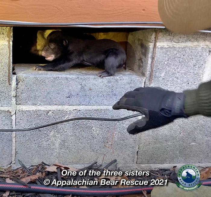 w5bly-returning-bear-cubs-to-mom-2.jpg