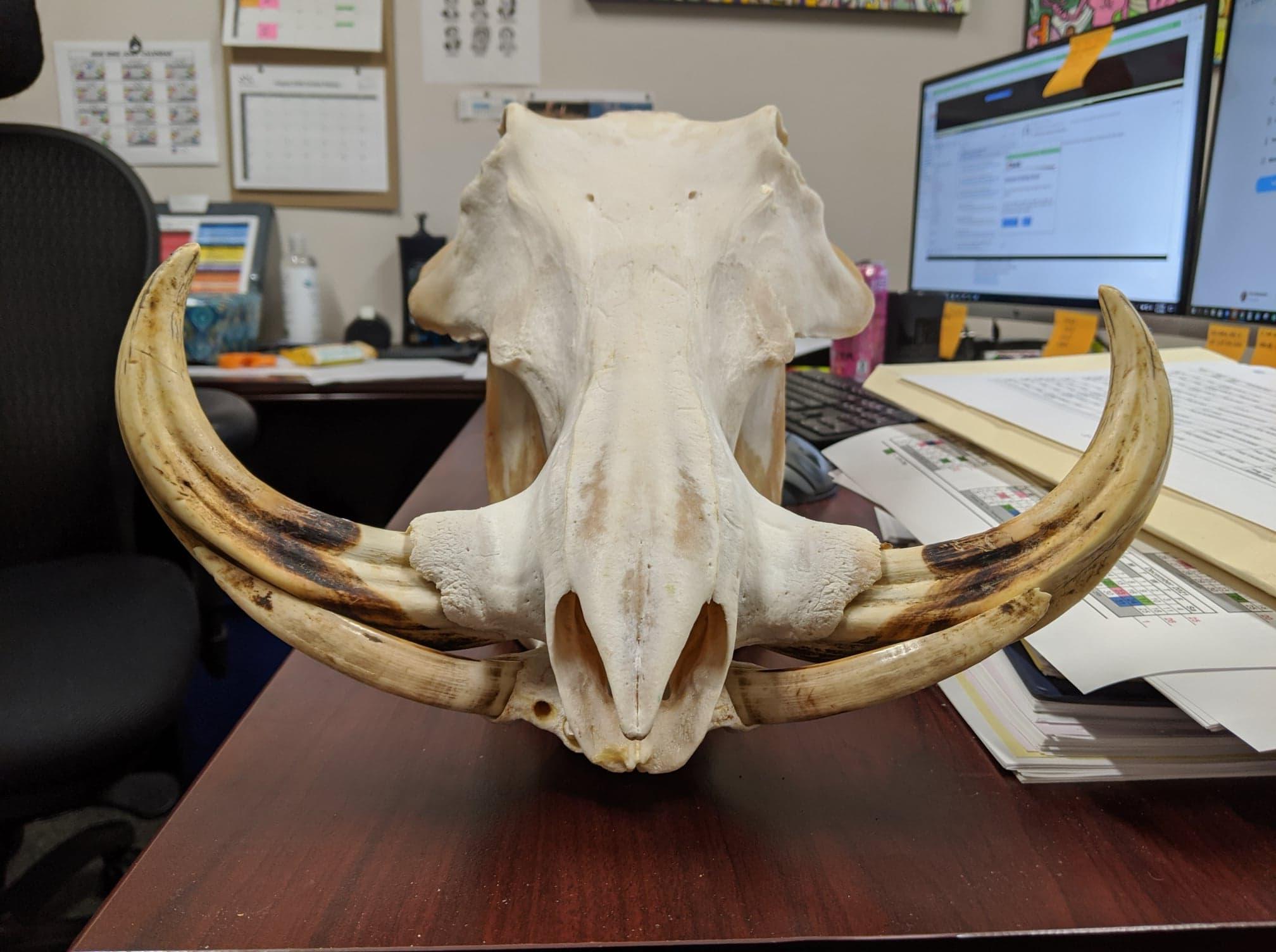 warthog skull.jpg