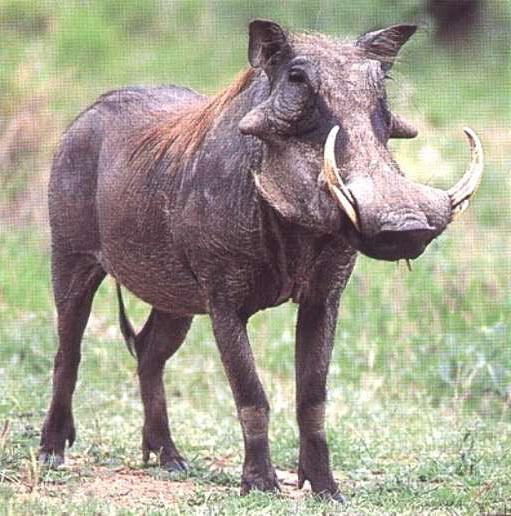 warthog_animal.jpg