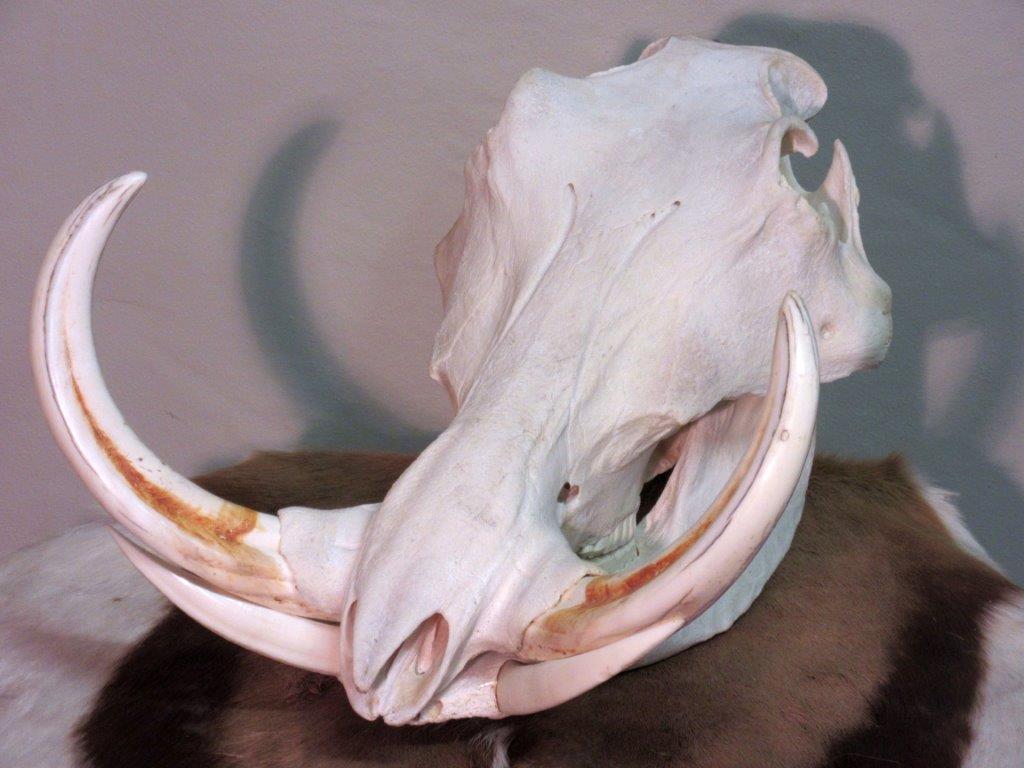 Warthog_Skull.jpg