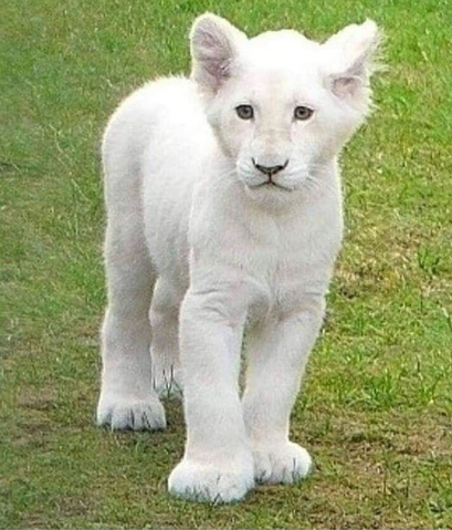 white cub.png