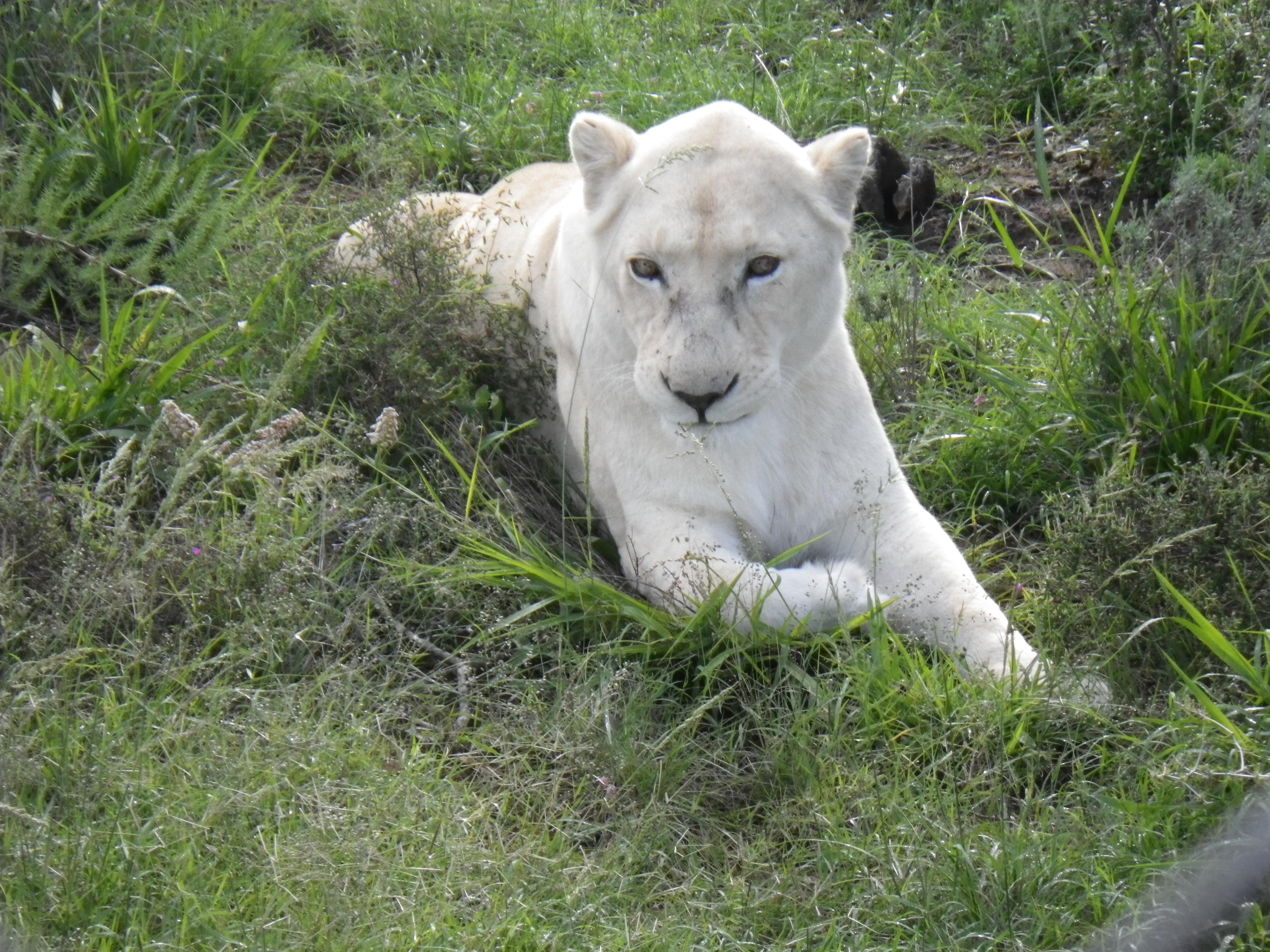 white_lions.jpg