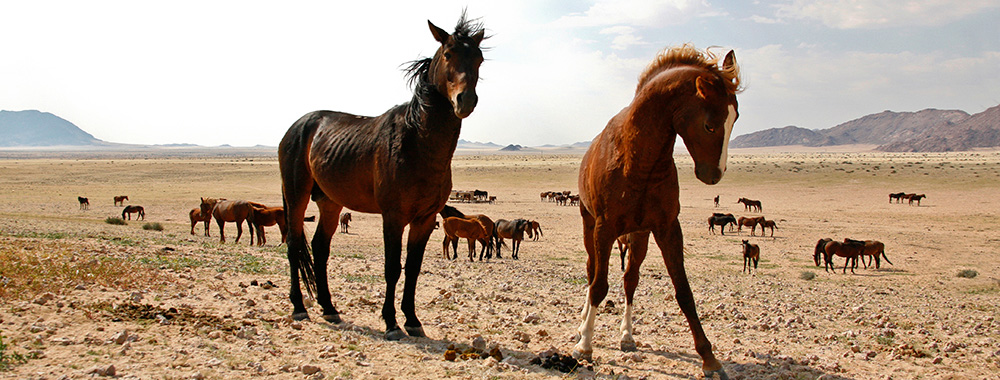 Wild-Horses-of-the-Namib01.jpg