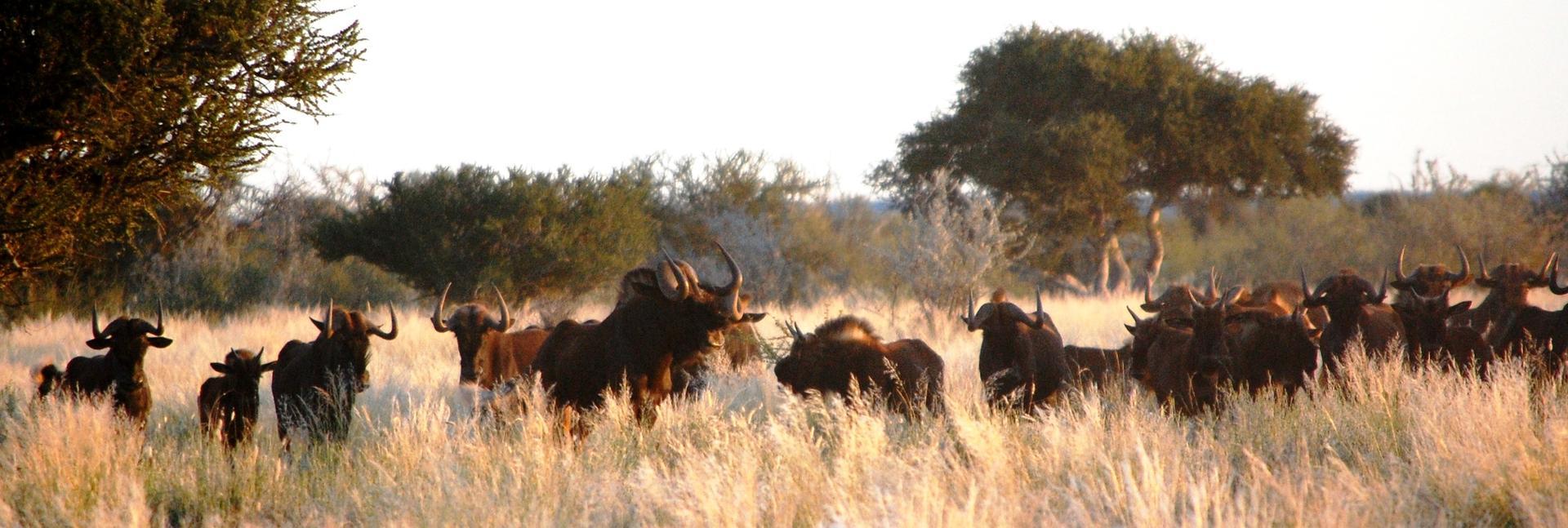 Wildebeest herd.jpg