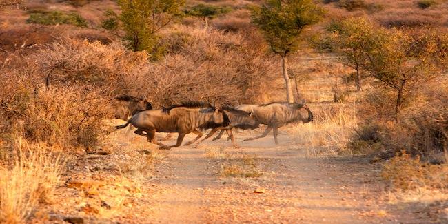 Wildebeest_namibia.JPG