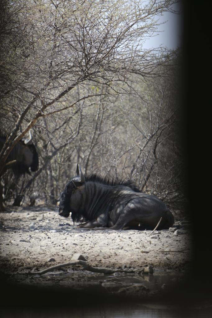 wildebeestbedded2_zpsd79384aa.jpg