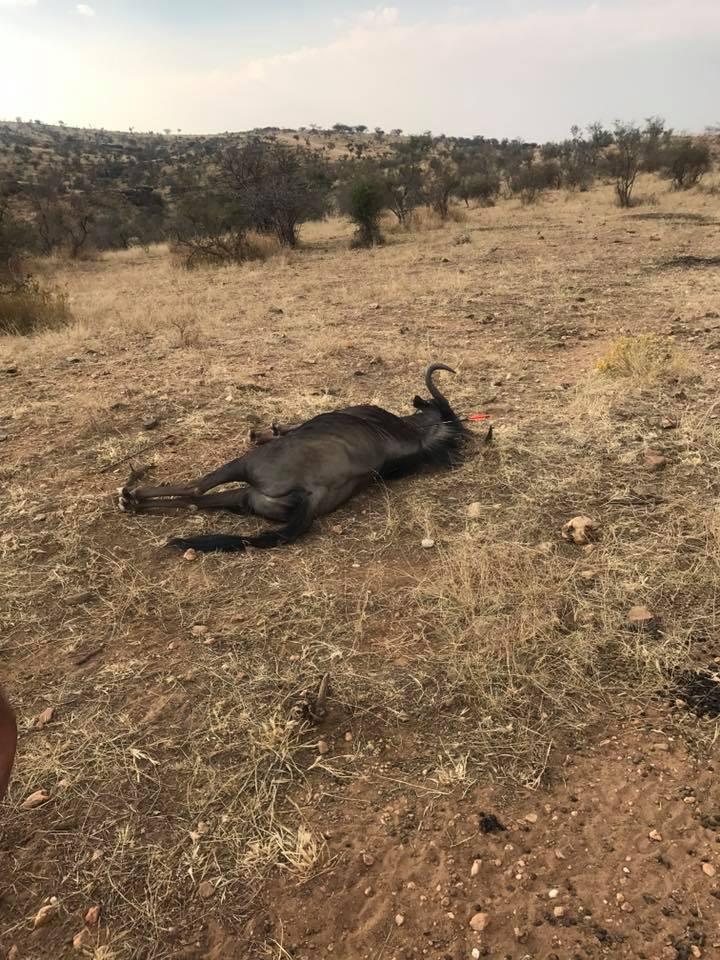 wildebeestdown.jpg