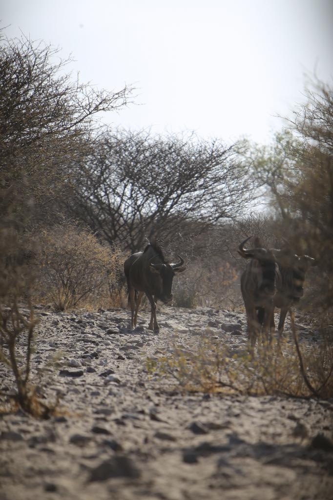 wildebeestfilingin_zpsa637120d.jpg