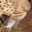 Xosha hounds Leopard 1.JPG