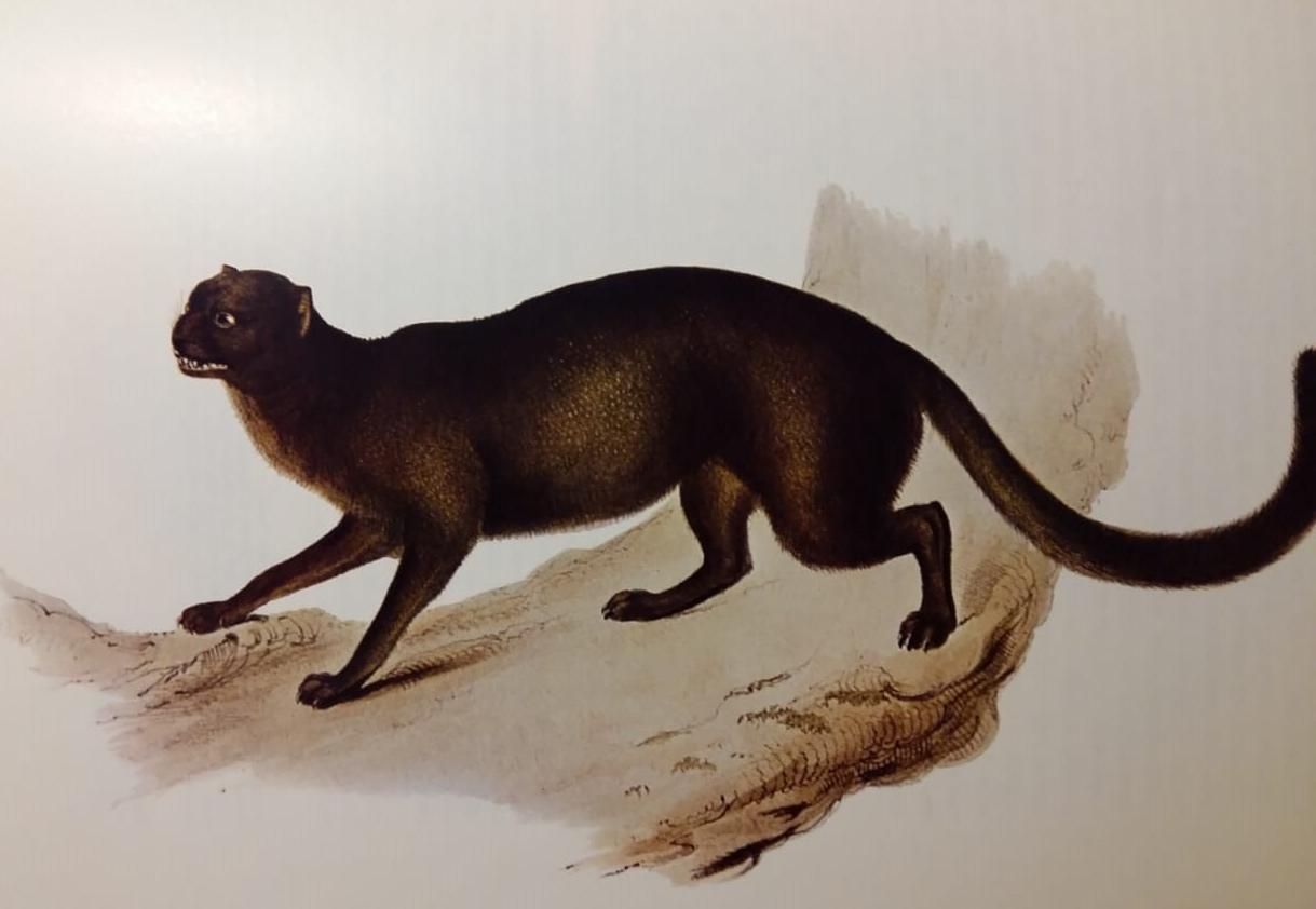 yaguarundi Darwin.jpg