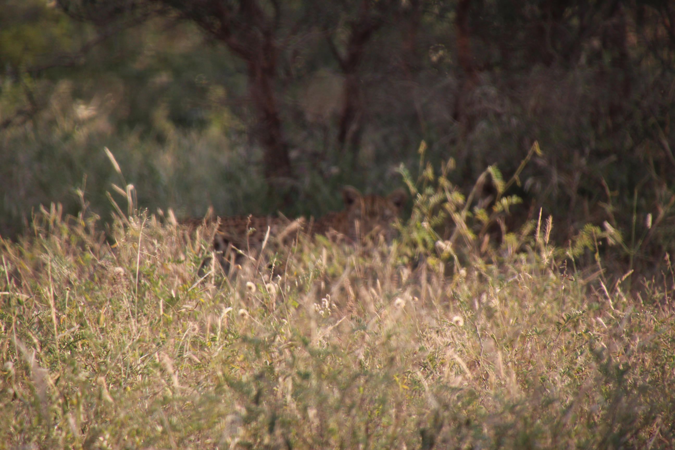 Young Leopard in grass daylight Sprear April.JPG