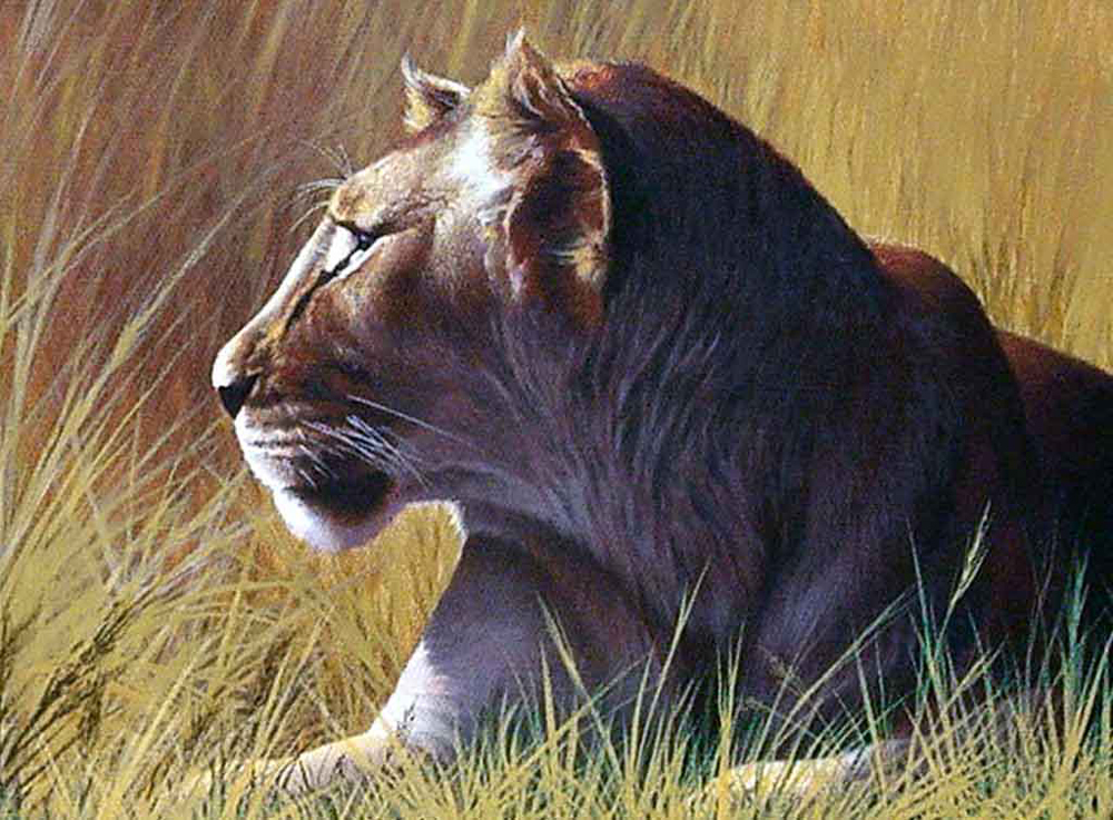 young-lion-11x15.jpg