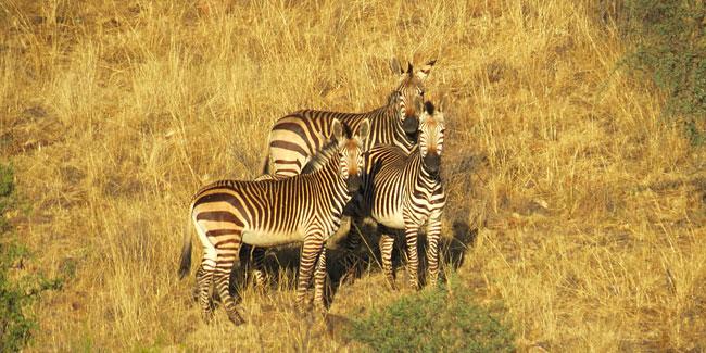 Zebra-Hengste.jpg