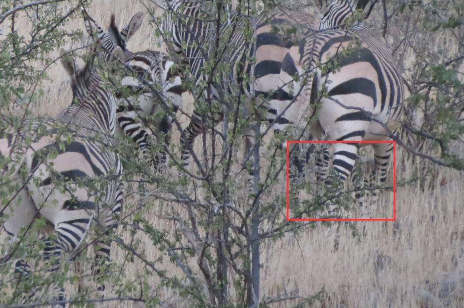 Zebra_zoom.JPG