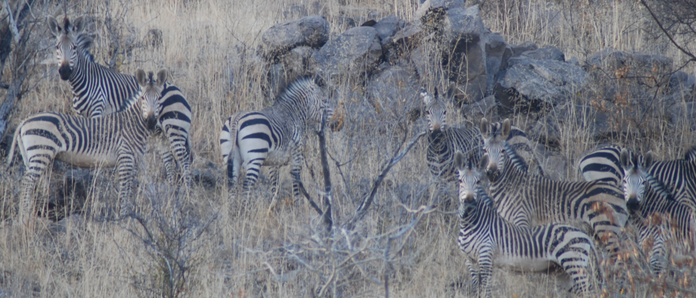 Zebras-1400x600.png