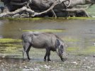 warthog at camp (1024x768).jpg