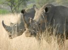 White Rhino 1.jpg