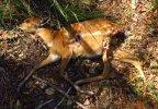 Sitatunga Baby Caracal Kill.jpg